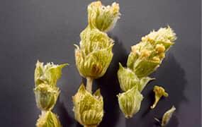 цветчета планински чай, подпомагащ либидото и сексуалната функция на силния пол